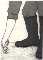 Посадка капусты брокколи