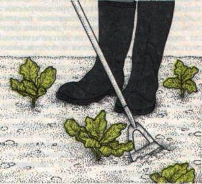Уход за капустой брокколи