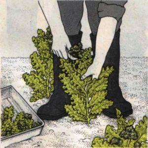 Сбор урожая капусты брокколи